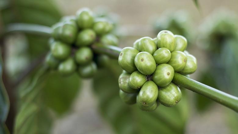 cafe_verde