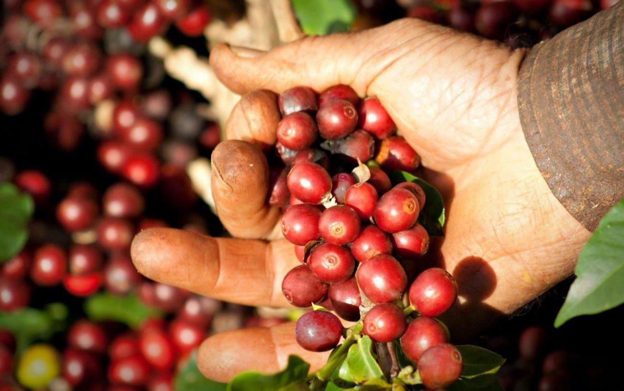 cafe-producao