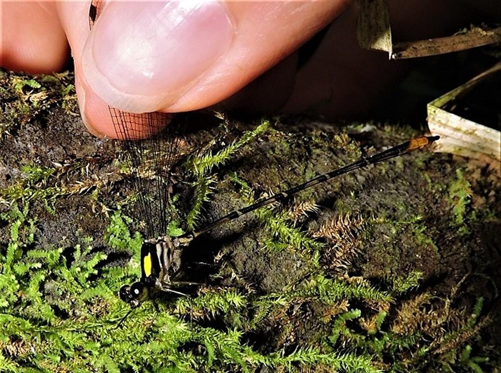 rio-machado-especie-de-libelulado-genero-heteragrion-que-ocorrem-em-florestas-conservadas