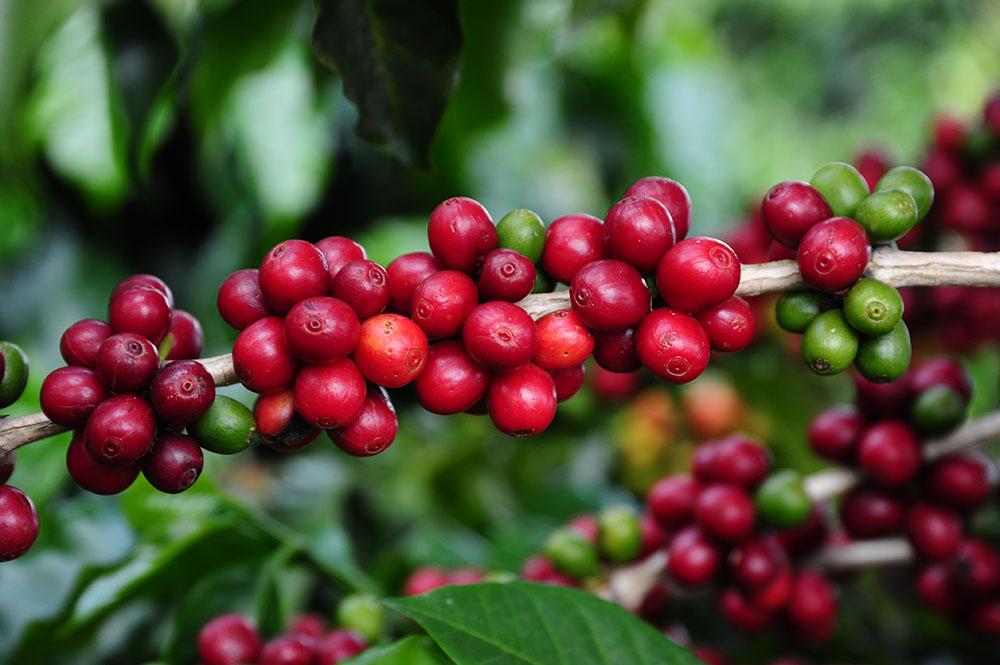 Café - divulgação - seapa