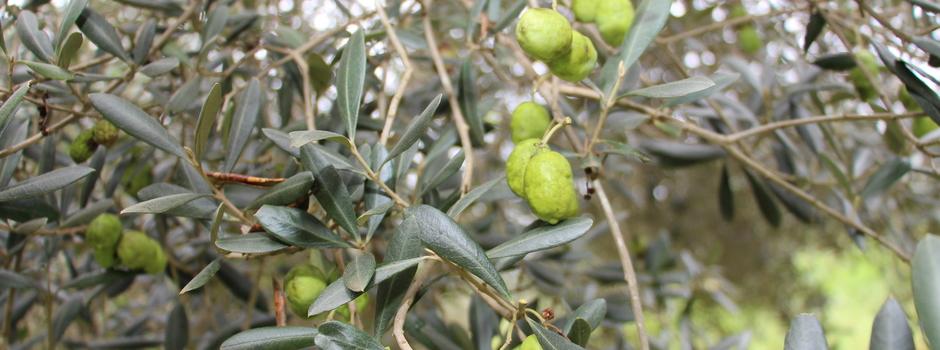 azeitona_oliva_olivicultura_pé_oliveira_azeite_-_cred_Arquivos_Ascom_Epamig_(477)