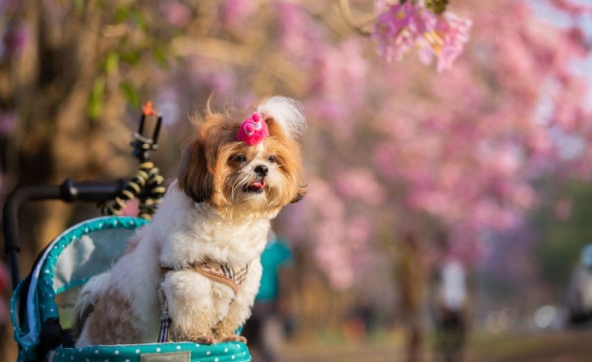 beautiful-spring-portrait-shih-tzu-dog-blossoming-flower-pink-park_1150-18264-1