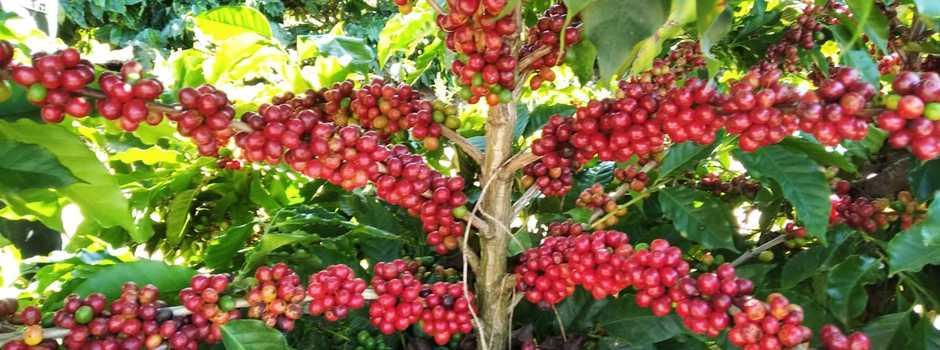 caffee_Erasmo_Pereira-Epamig_(462521)